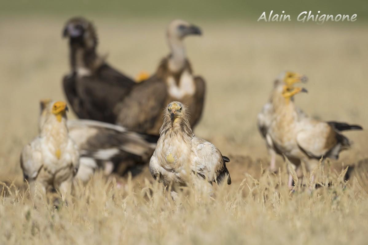 13 capovaccaio tris di avvoltoi