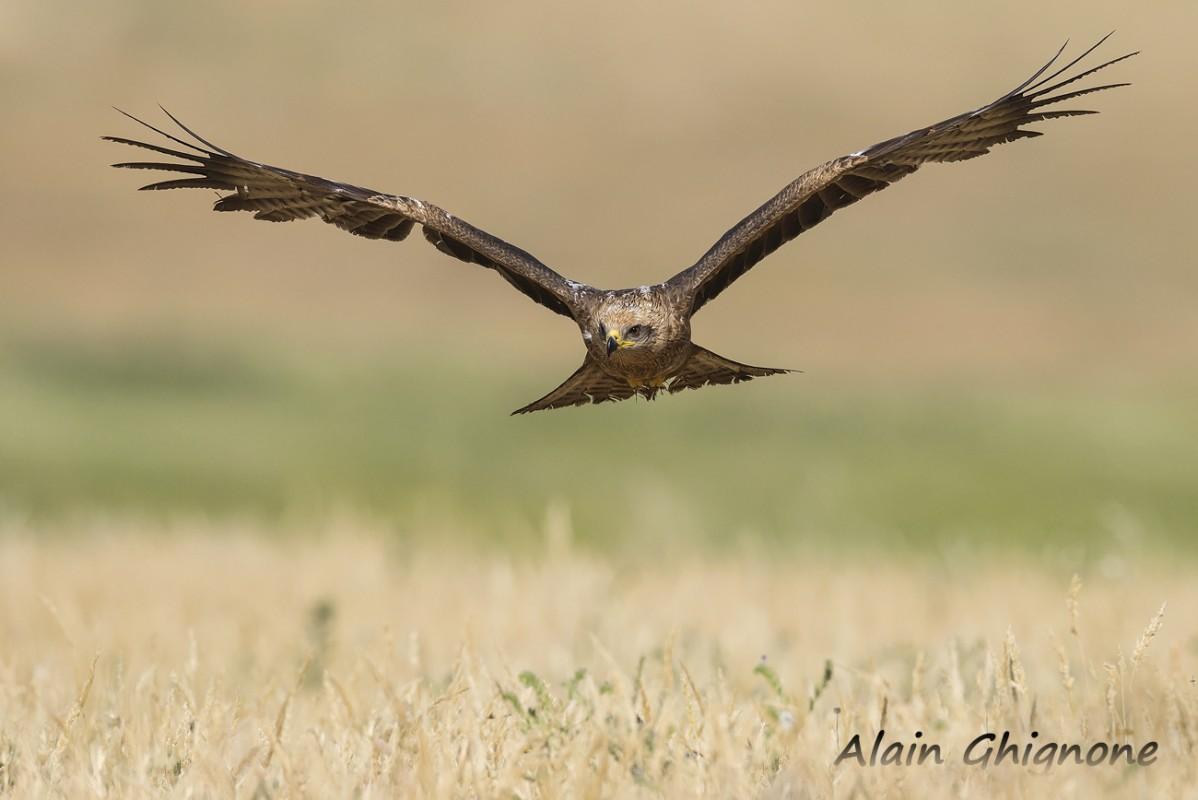 3 nibbio bruno volo frontale