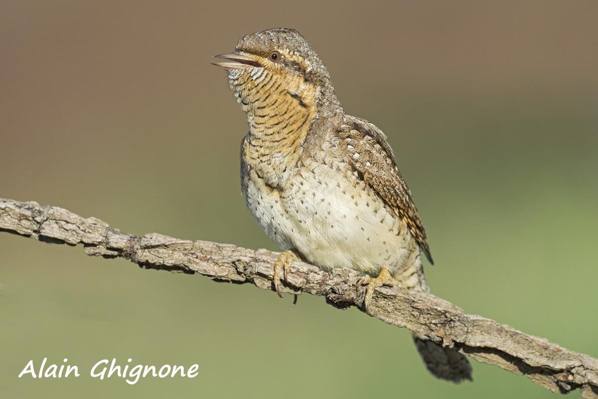 IL TORCICOLLO l'uccello facile da udire, difficile da scovare…