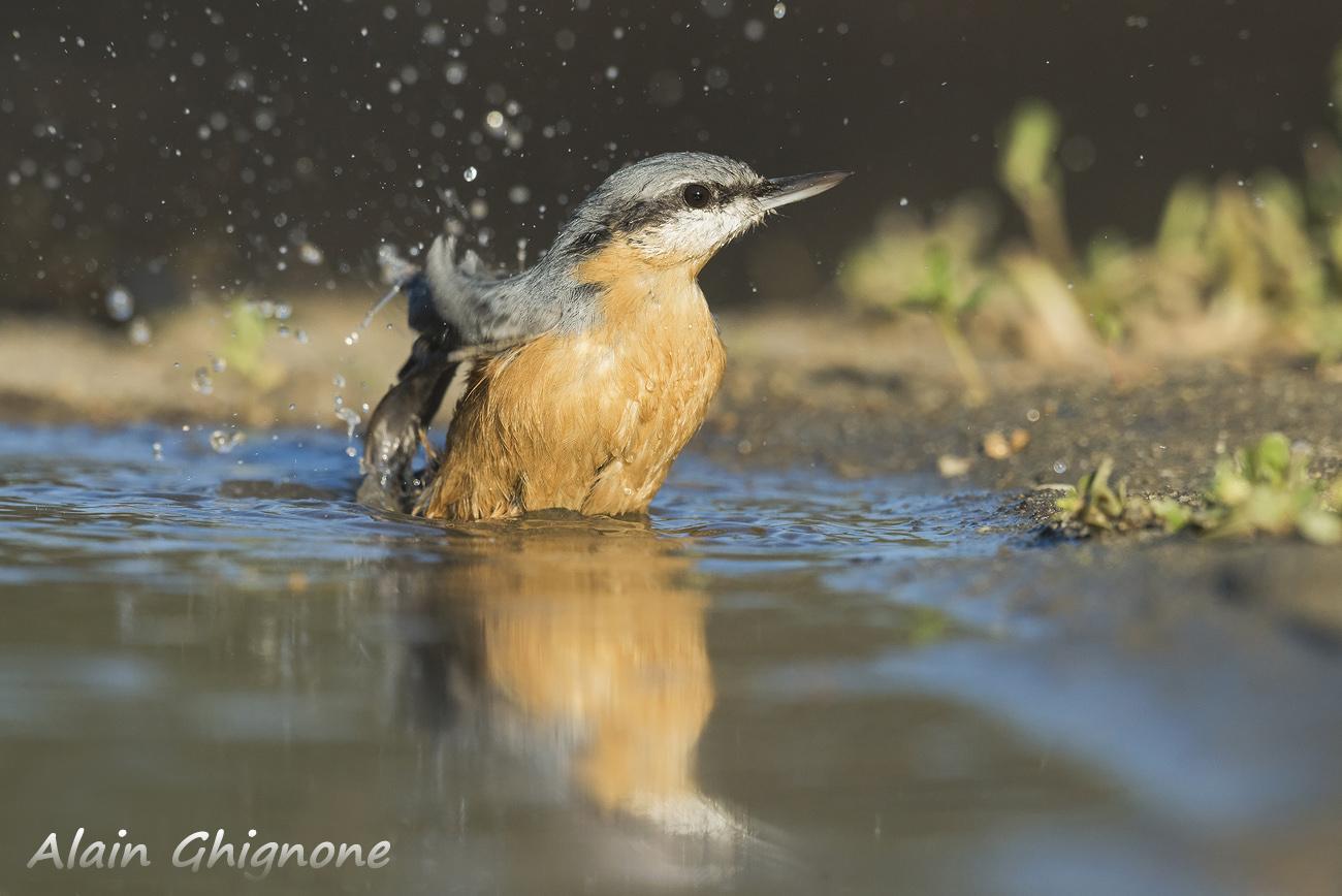 picchio muratore in acqua nuthatch water