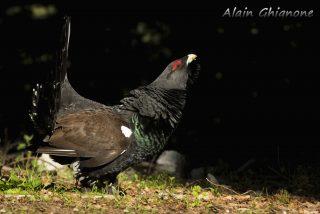 gallo cedrone Western Capercaillie Tetrao urogallus