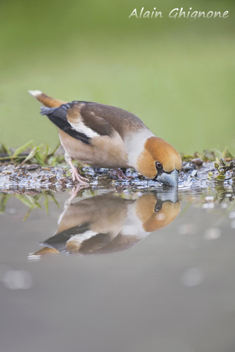 frosone primavera acqua Coccothraustes coccothraustes hawfinch