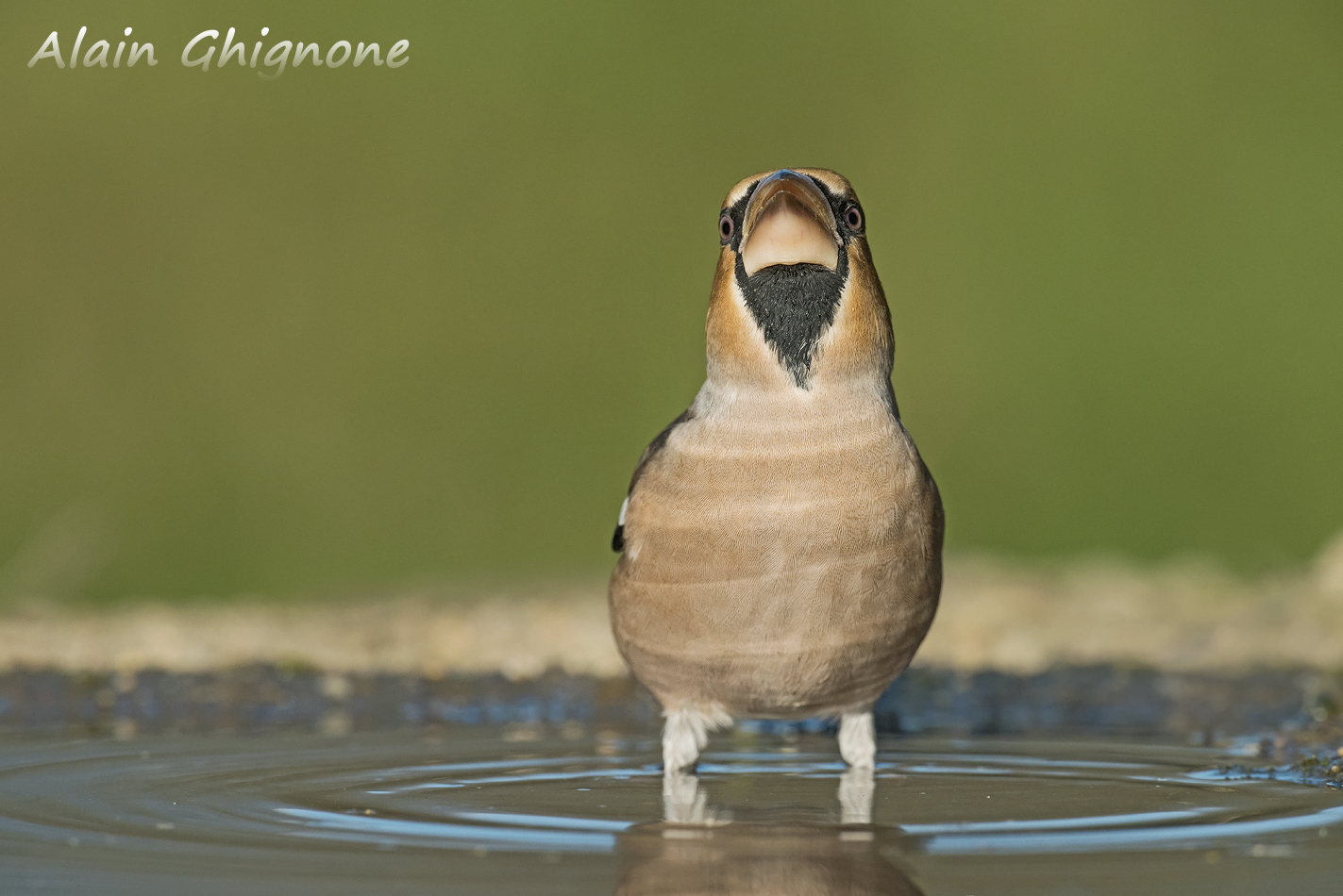 frosone autunno acqua Coccothraustes coccothraustes hawfinch