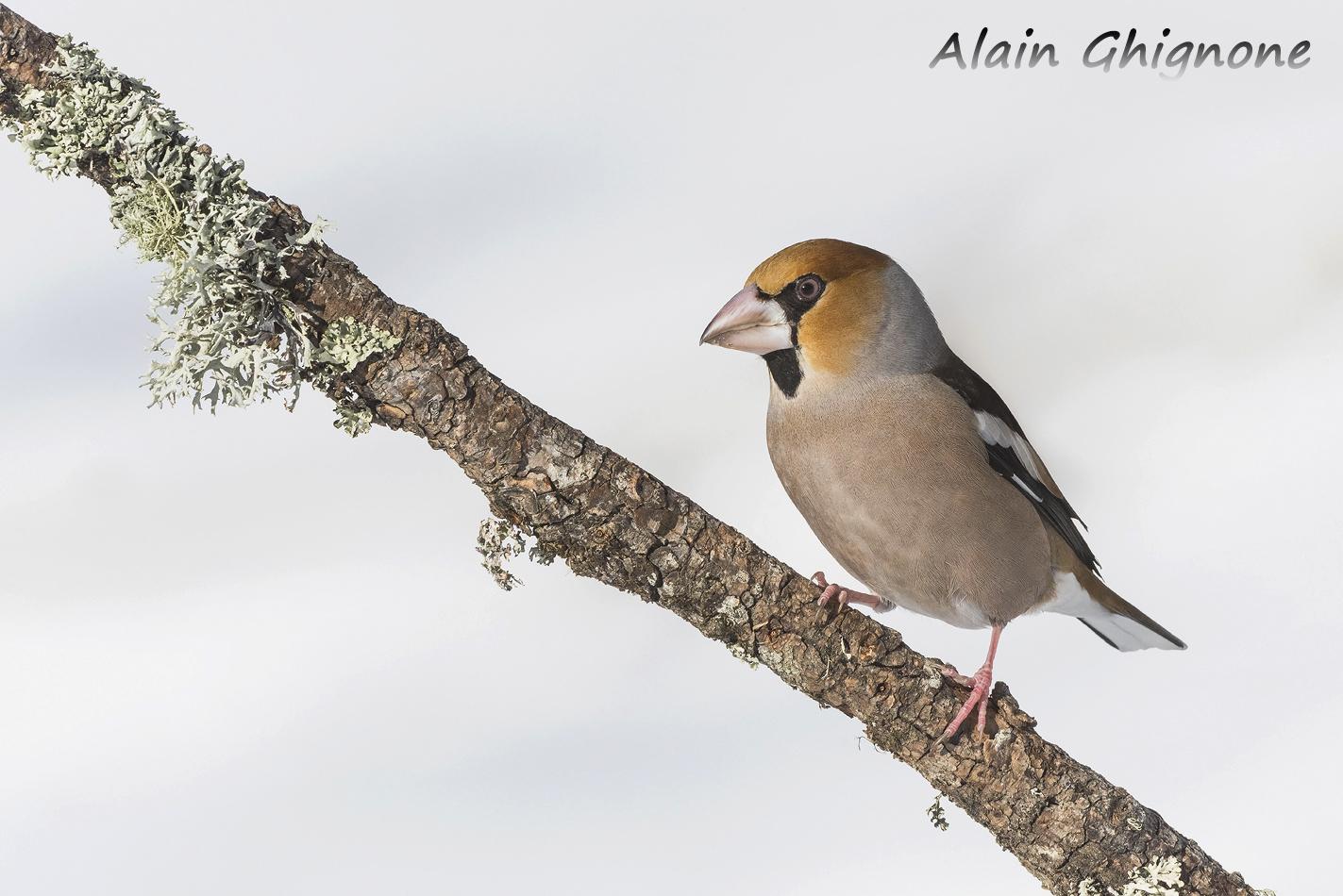 frosone posatoio neve Coccothraustes coccothraustes hawfinch