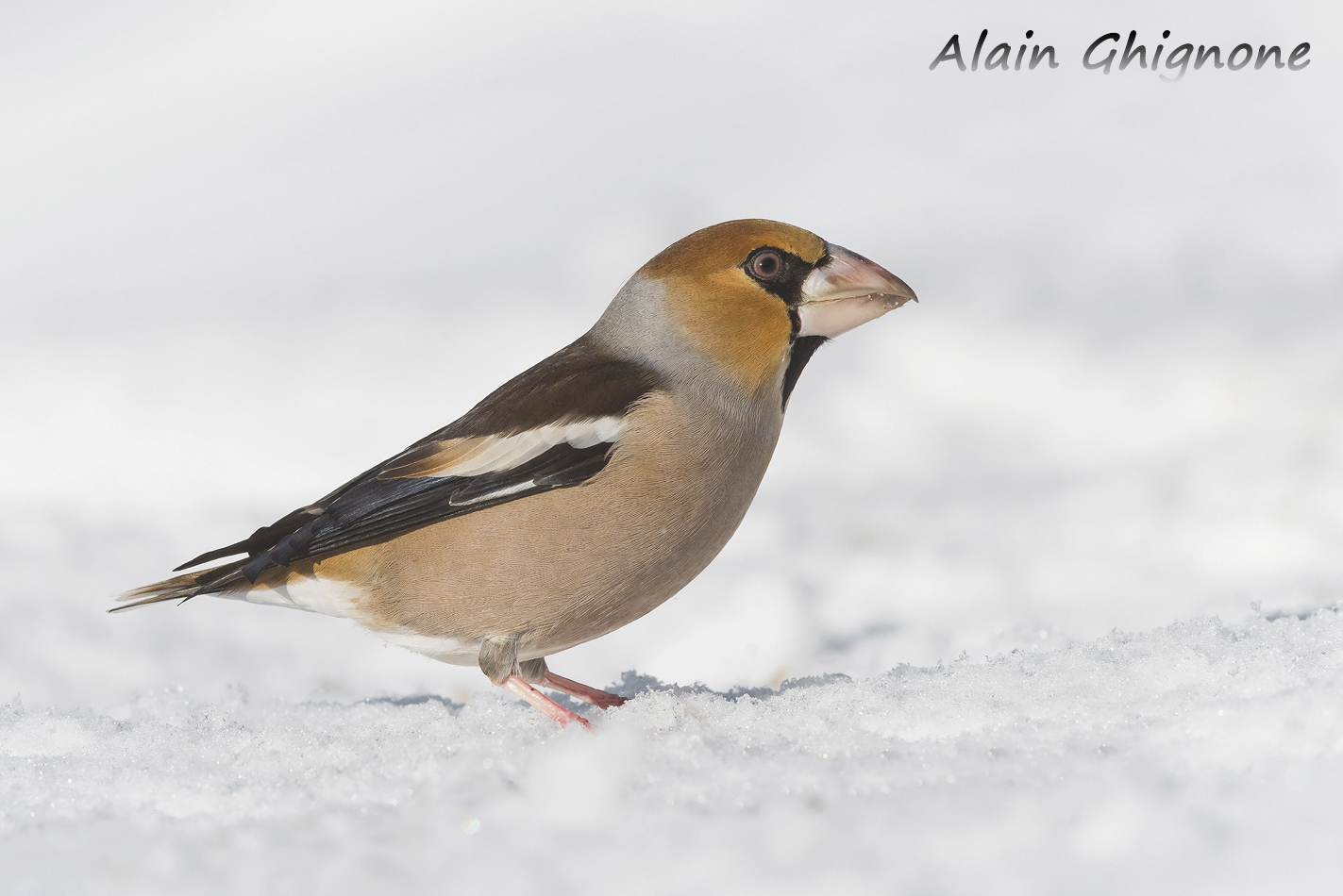 frosone nella neve Coccothraustes coccothraustes hawfinch